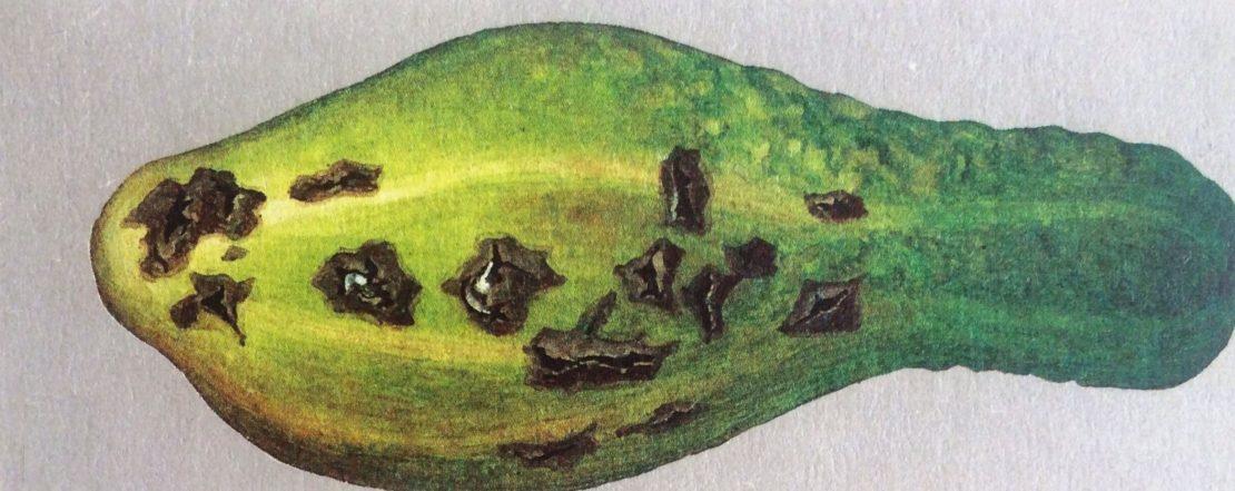 Оливковая пятнистость на огурцах
