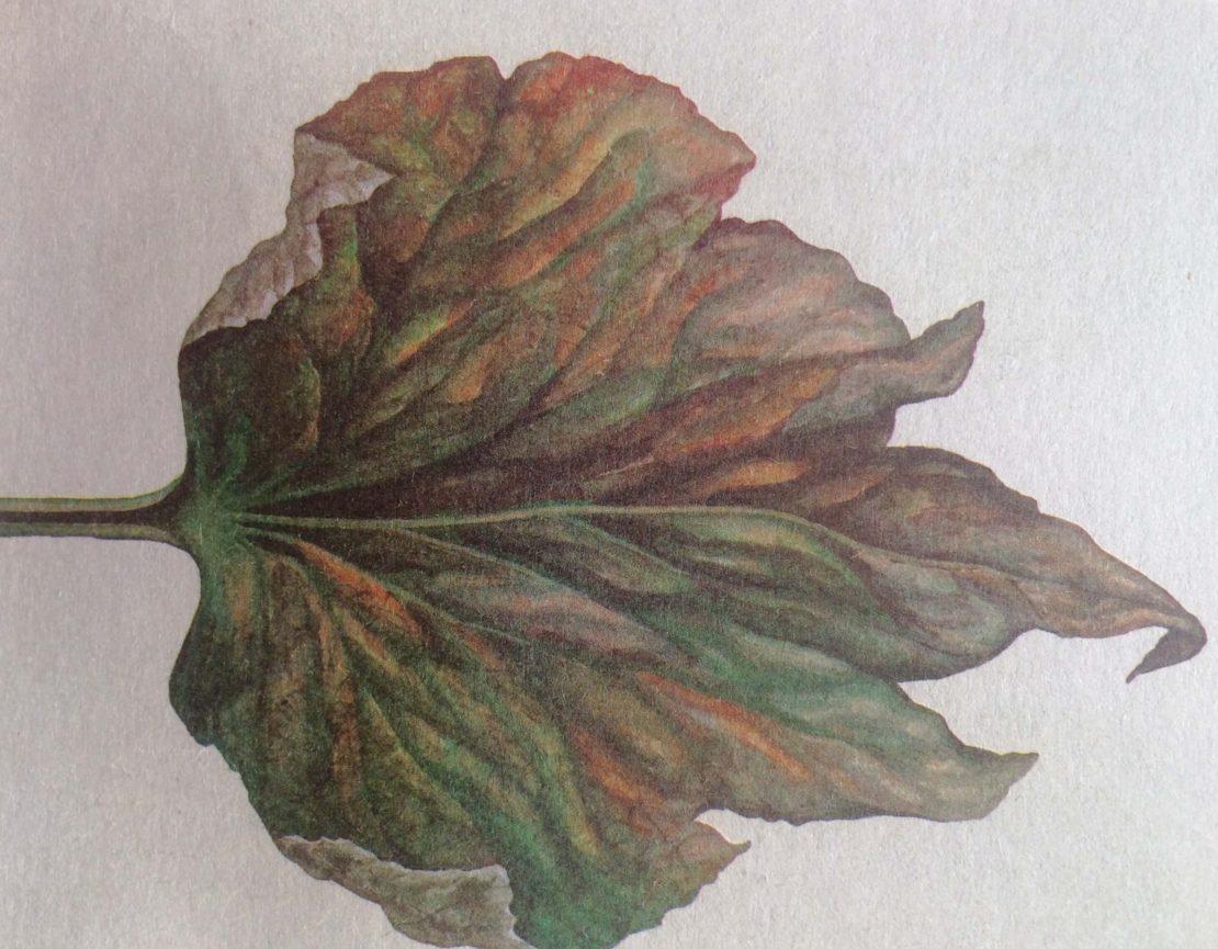 Беля гниль на листе огурца