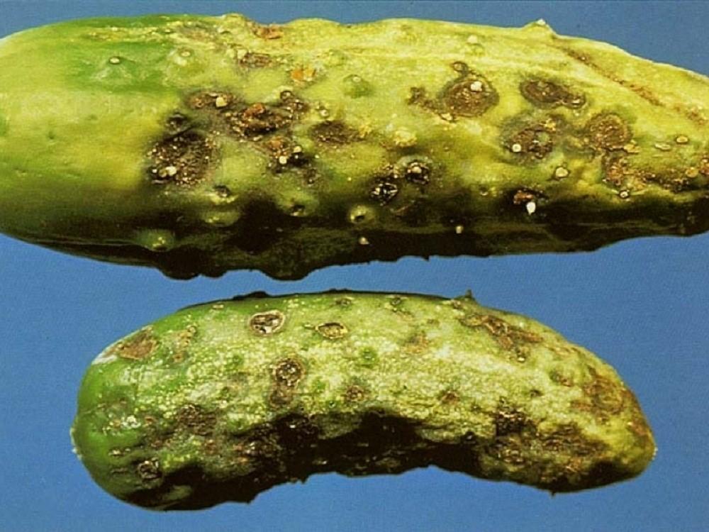 мокрая бактериальная гниль огурцов