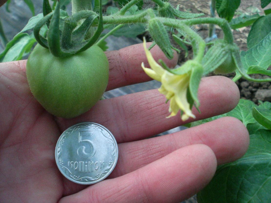 Выбор сорта помидоров