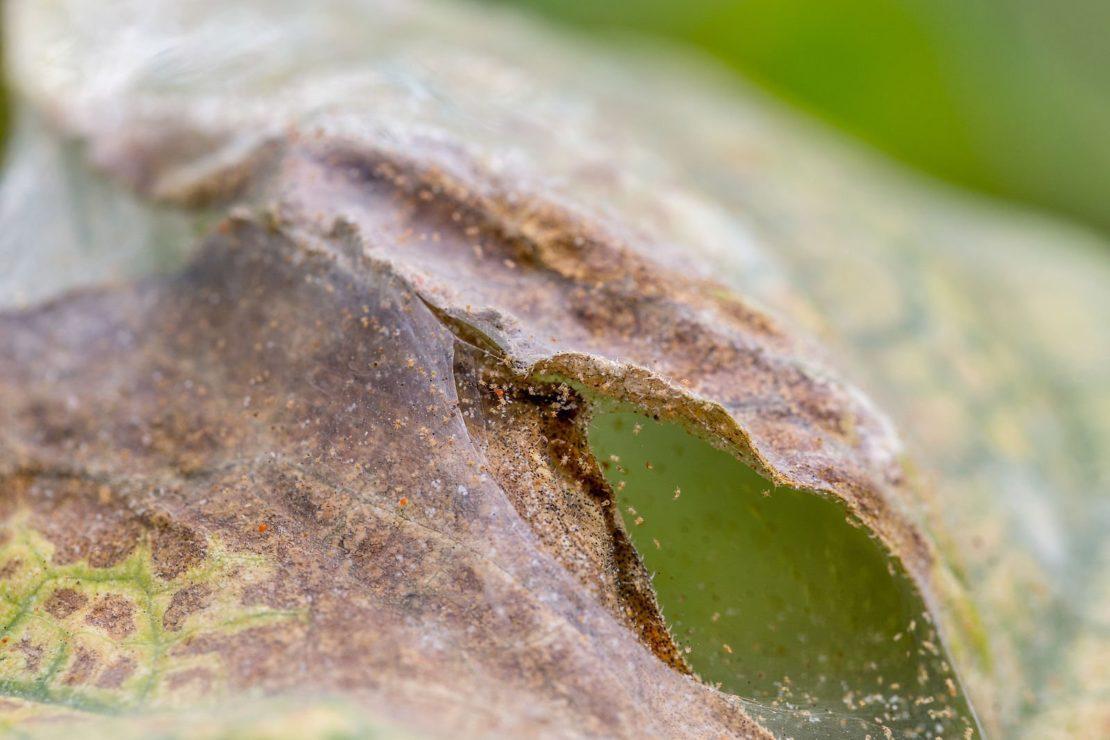 паутинный клещ на смородине