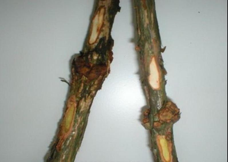 Рак стебля