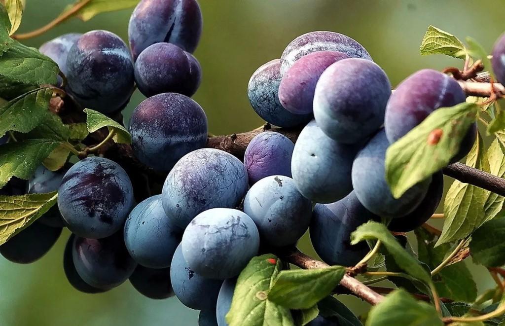 Хорошая урожайность сливового дерева