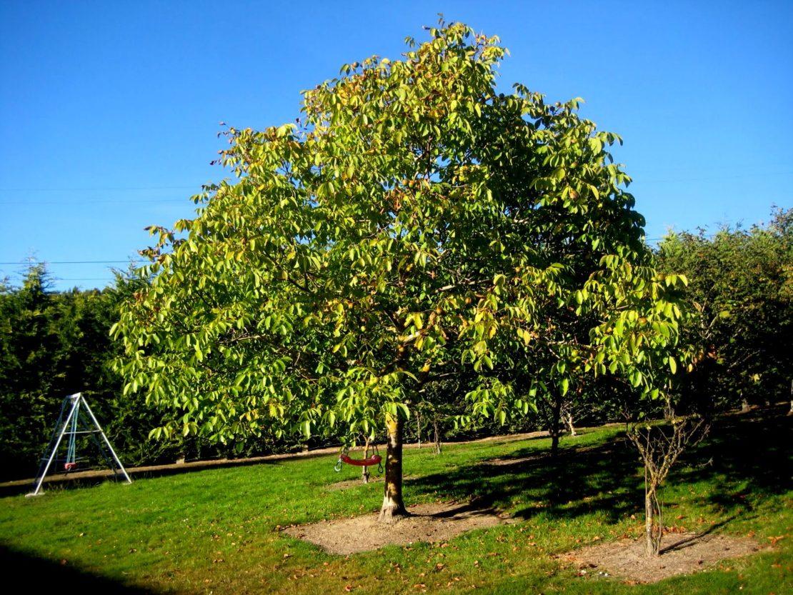 Деревья для дачи, которые не требуют особого ухода