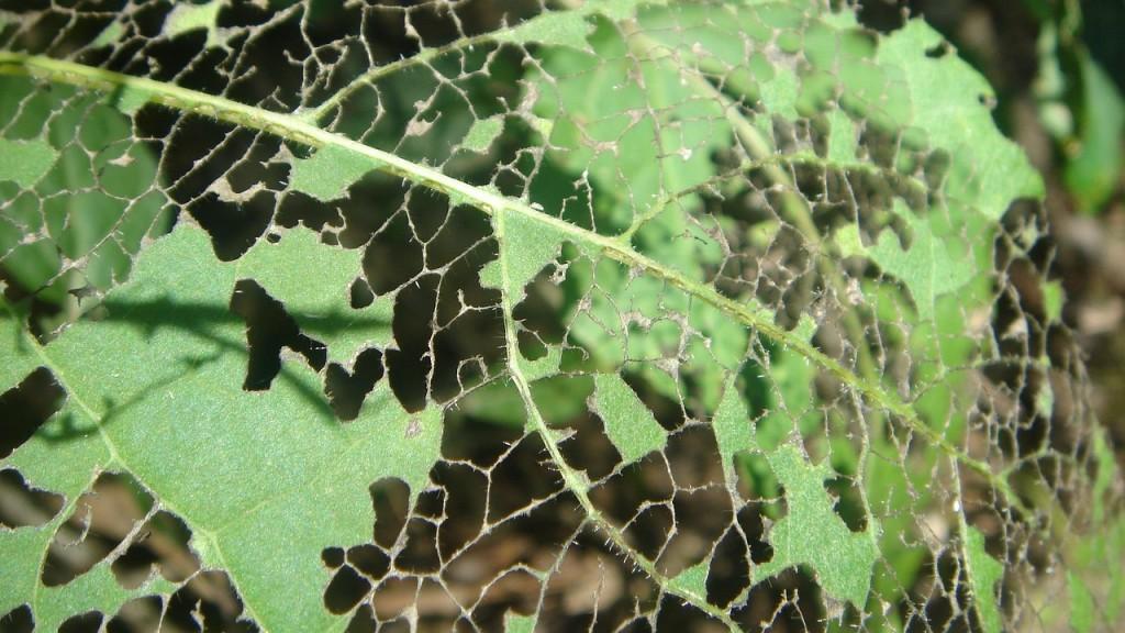 Гусеницы погрызли лист