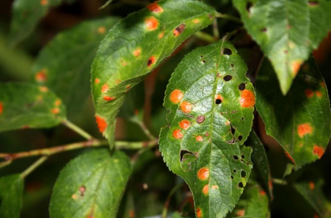 Вредоносные насекомые на сливе
