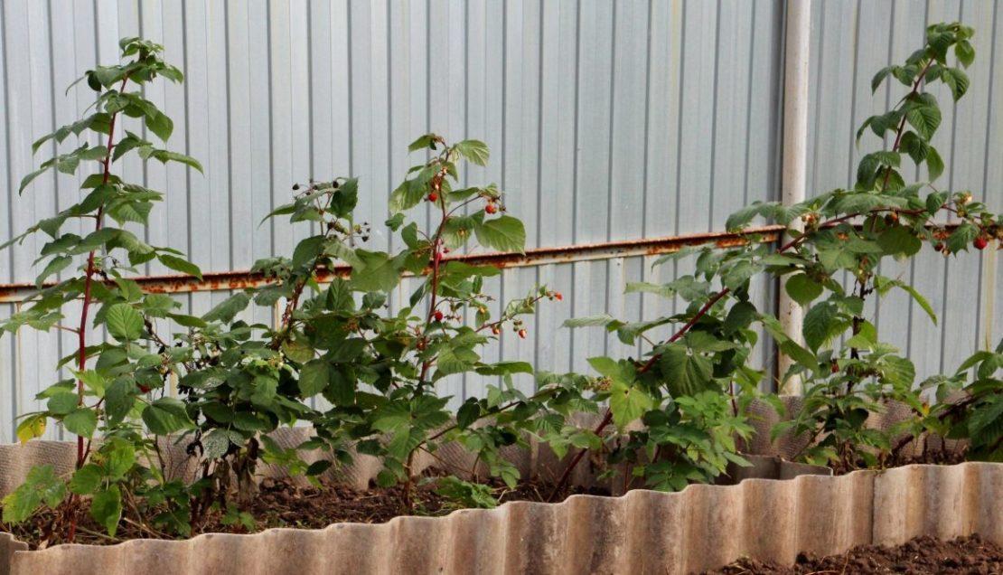 Как остановить разрастание малины по всей даче