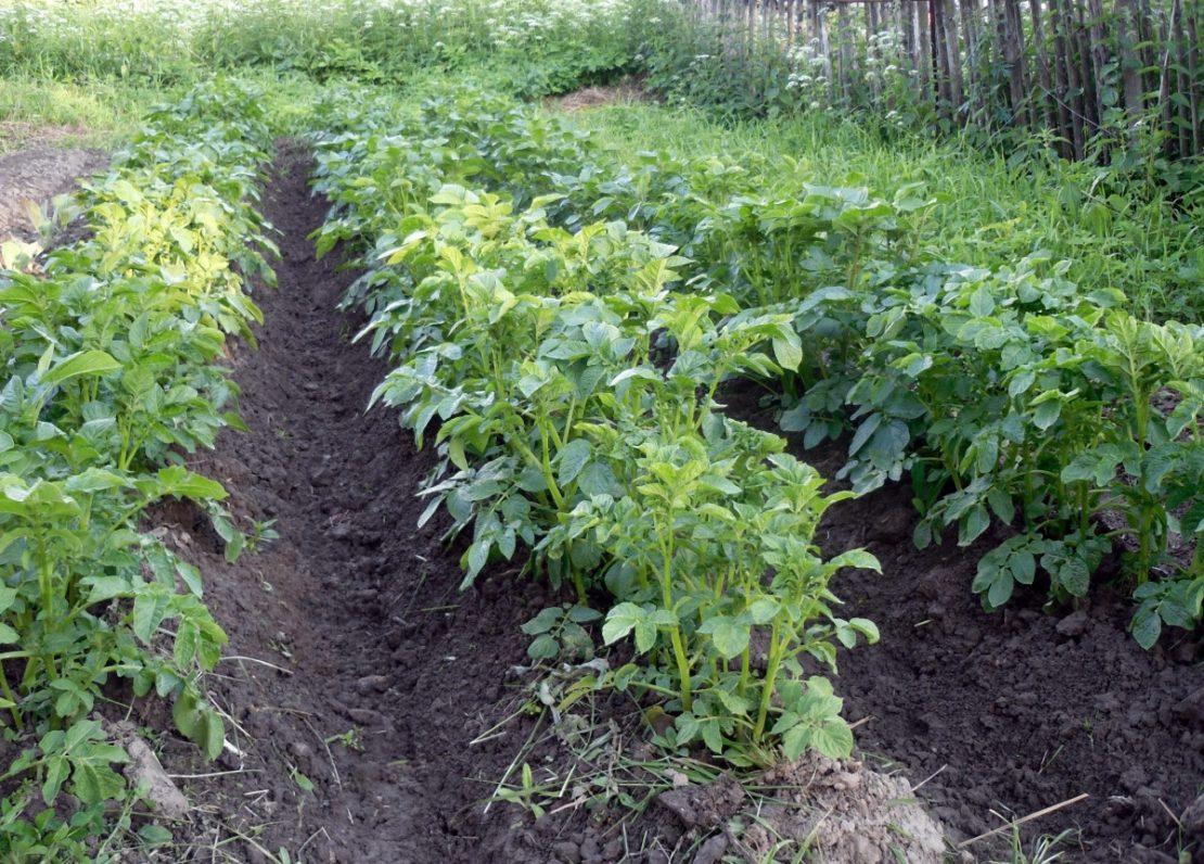 Применение картофельной ботвы в огороде