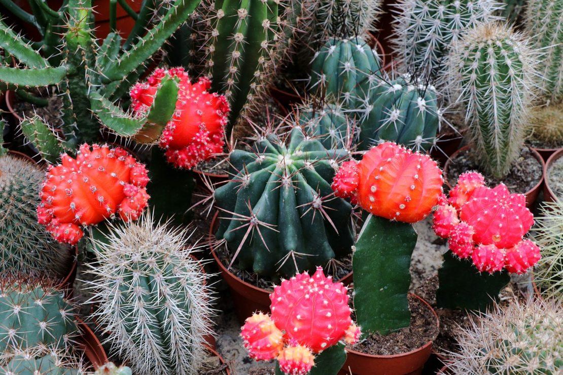 Разнообразие кактусов фото