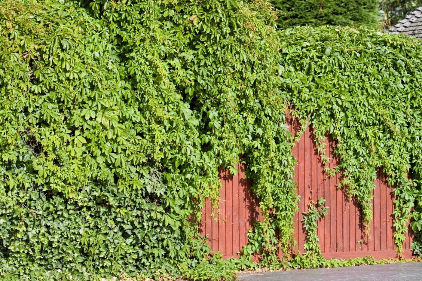 вам зеленый забор живая изгородь на даче фото регион даже