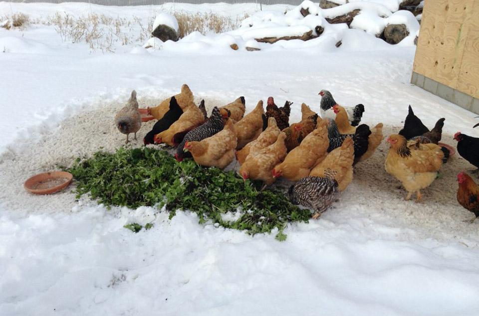 Кормление кур сорняками