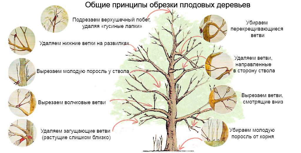 Как омолодить старое плодовое дерево.