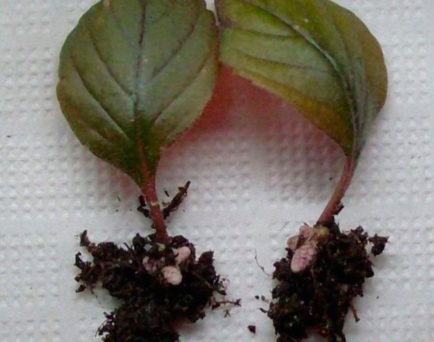 размножение фуксии листами