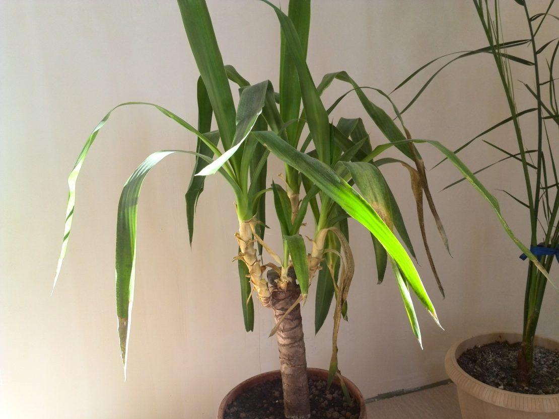 температура для пальмы юкка