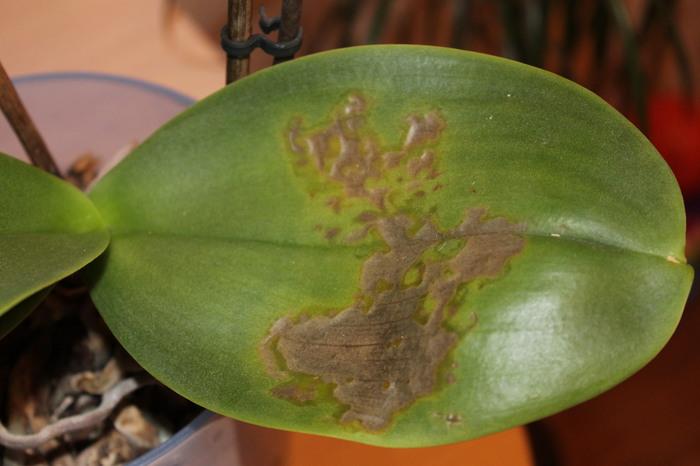 инфекция у орхидеи