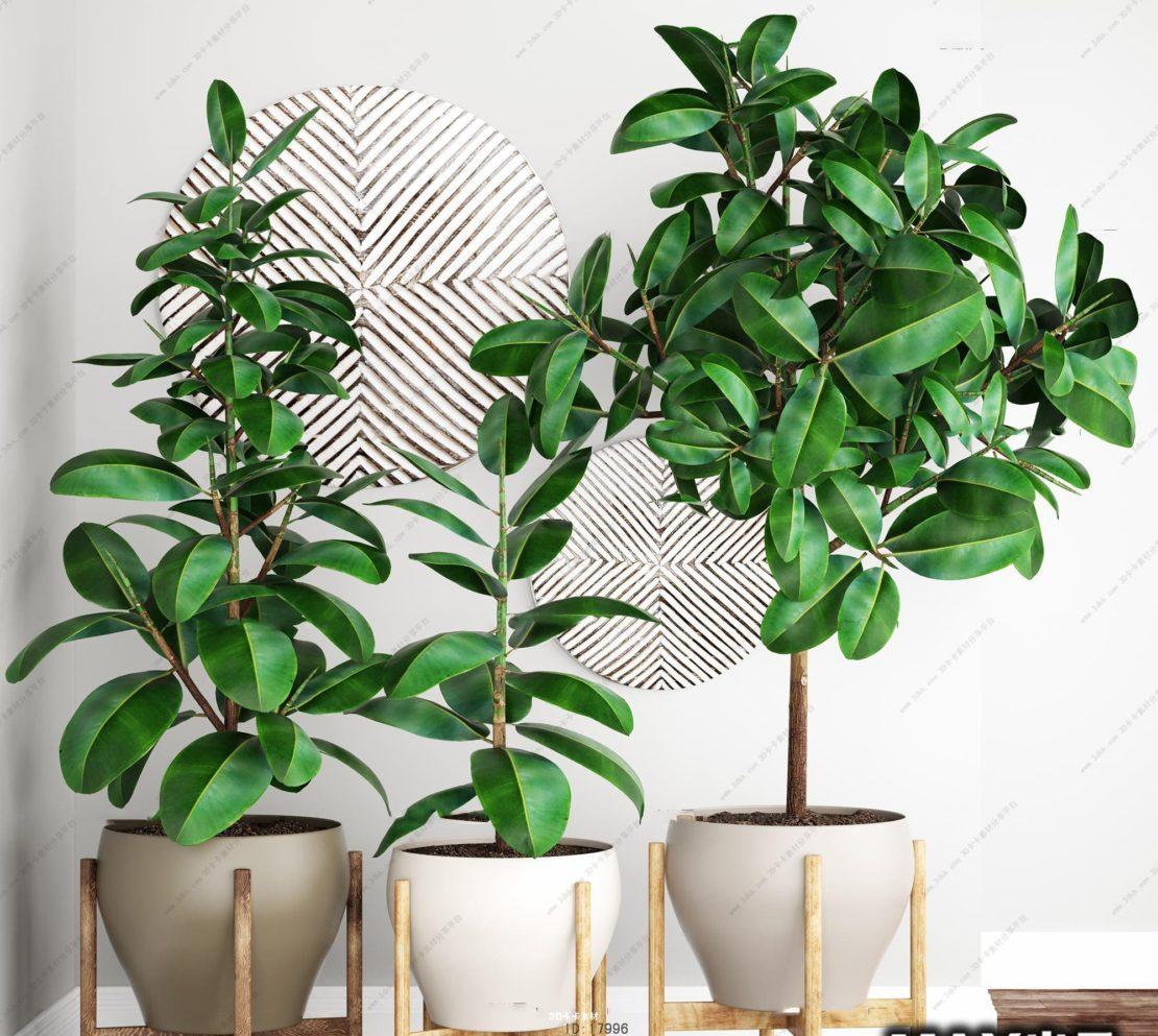 Фикус в доме и свойства растения
