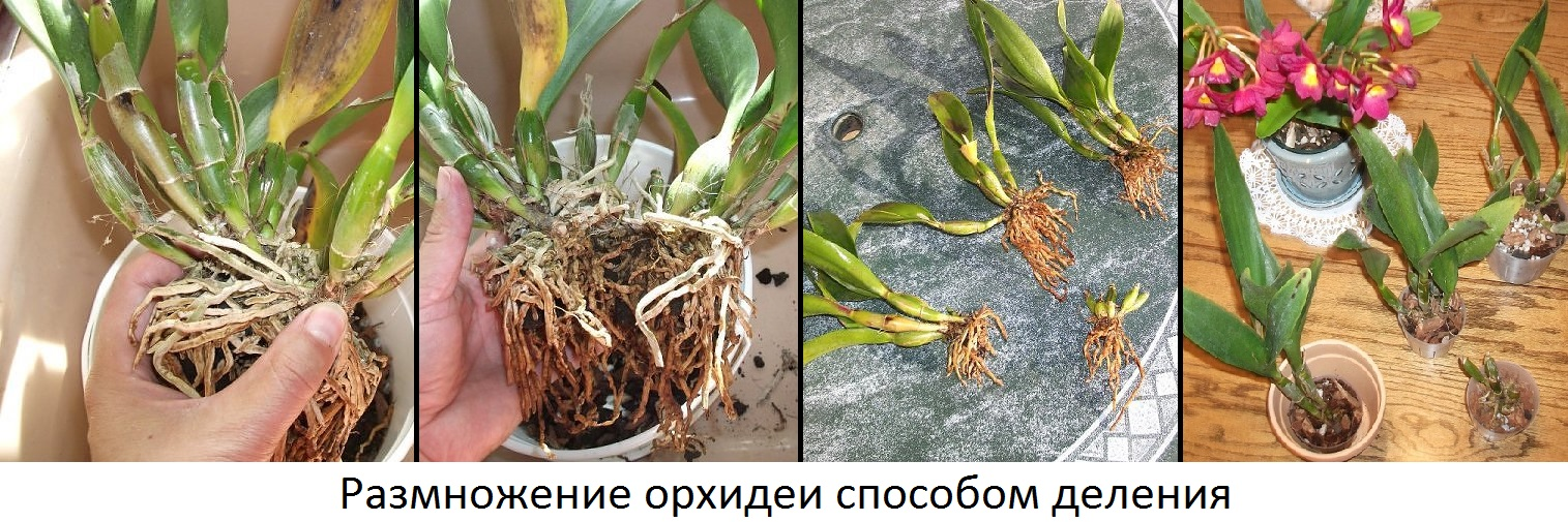размножение орхидеи делением