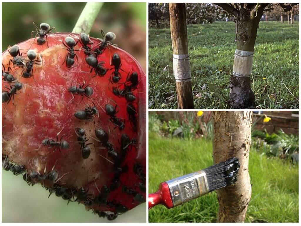 Как побороть муравьев на деревьях
