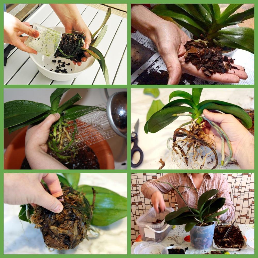Правила пересаживания орхидей