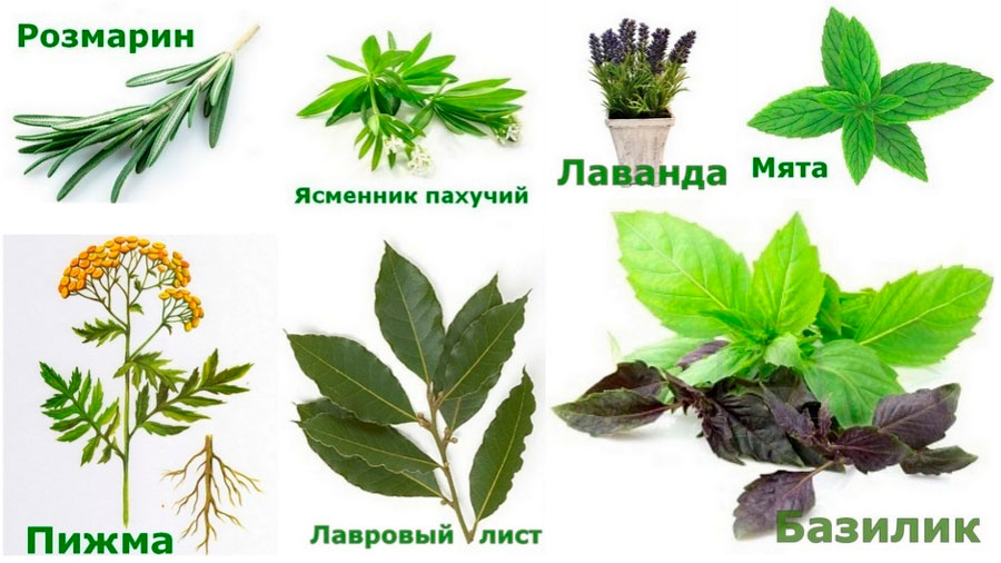Растения репелленты для отпугивания комаров