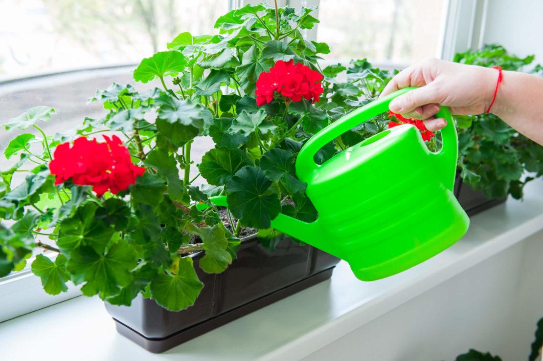 полив герани дома