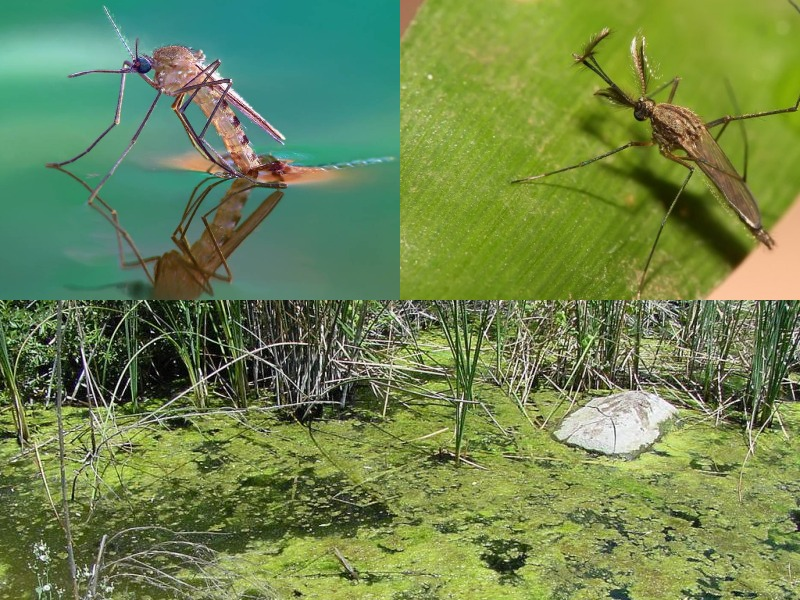 места обитания комаров