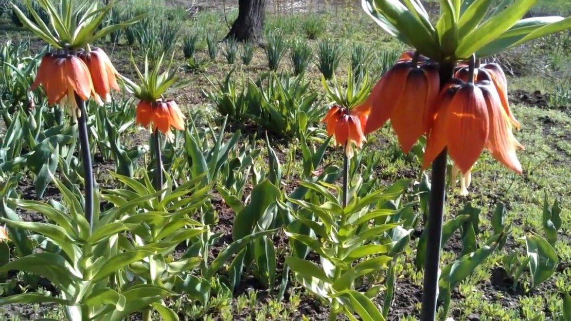 растения отпугивающие кротов