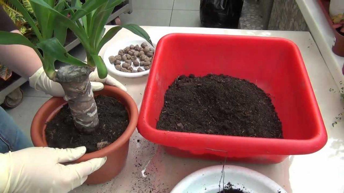 грунт для пальмы юкка