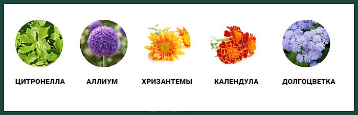цветы для отпугивания комаров