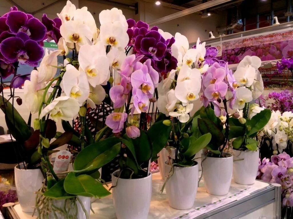Правила выбора орхидеи в магазине