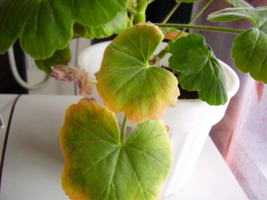 желтеют листья на герани