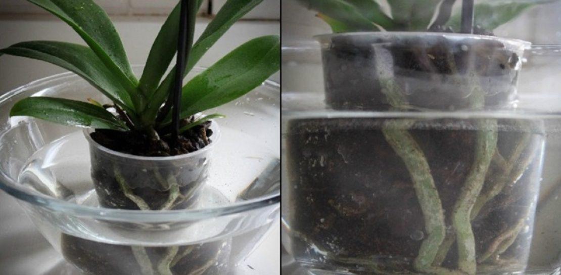 полив для орхидеи