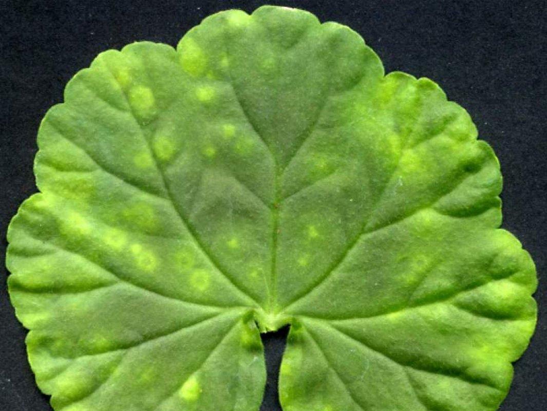 пятна на листьях герани