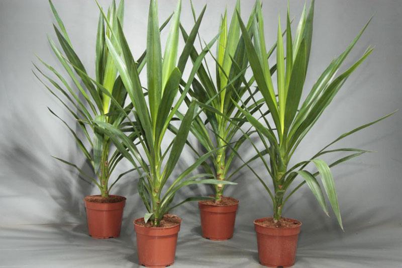 пальма юкка в домашних условиях