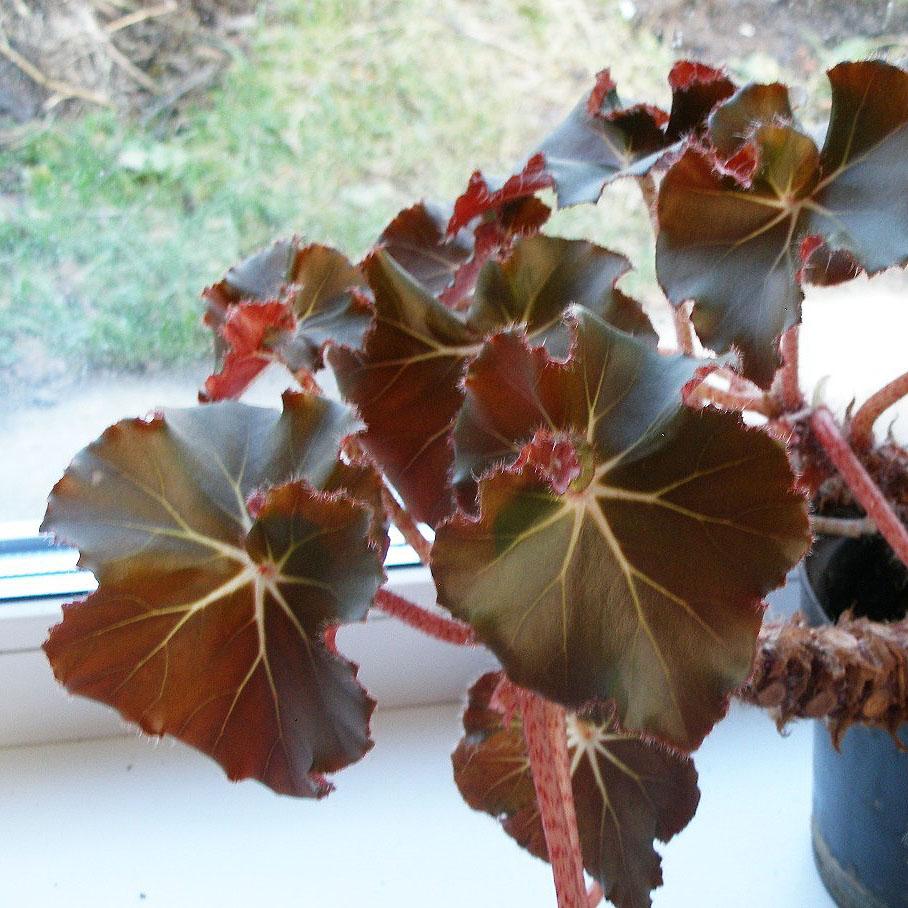 краснеют листья у бегонии