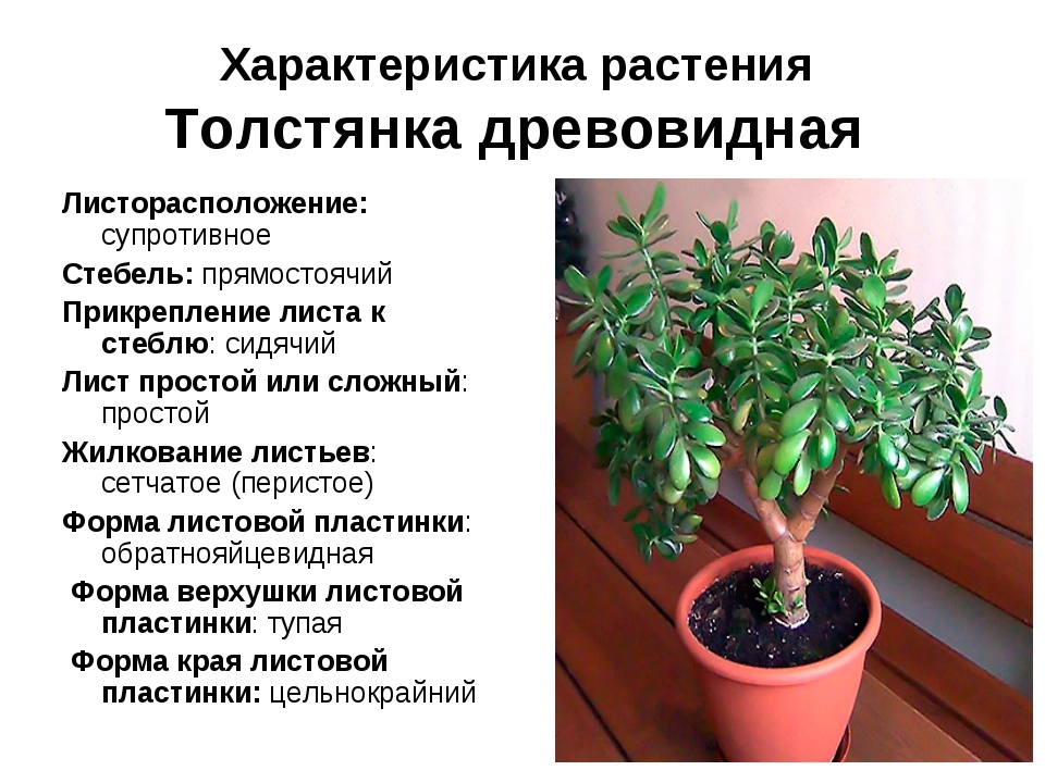 характеристика денежного дерева
