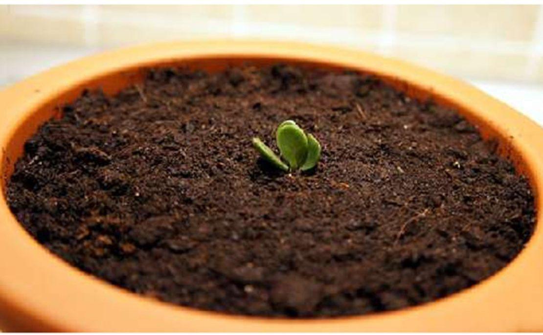 размножение толстянки семенами