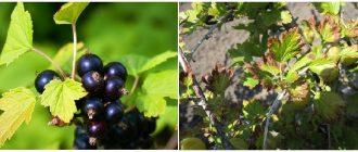 Пожелтение листьев смородины и крыжовника